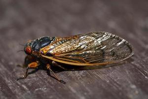 cicade zijaanzicht