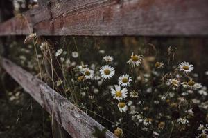 madeliefjebloemen bloeien door een houten hek