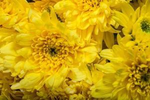 gele chrysantenbloemen foto