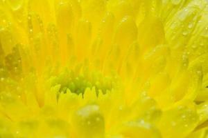 gele chrysantenbloem