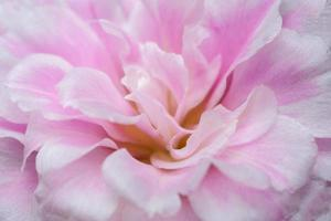 portulaca oleracea bloem macro
