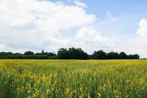 crotalaria chachoengsao boerderij