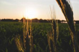 tarweveld bij zonsondergang