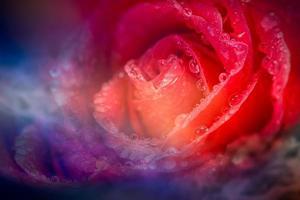 fantasie roos met druppel