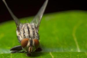 vlieg op een blad, macro