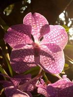 zon schijnt door de bloembladen van een orchidee foto