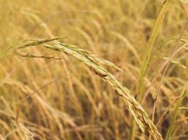 rijpe oogst van gouden rijst
