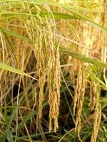 volwassen geoogste gouden rijst