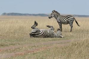 twee zebra's in de natuur foto