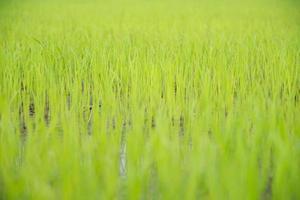 close-up van een geplaatste rijst