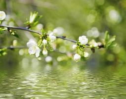 cherry lentebloemen