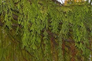 conifeertakken met hangende bladeren