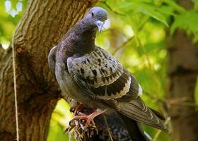 duif zitstokken op gebroken boomtak