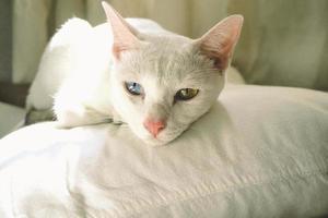 schattige witte kat met blauwe en gele ogen