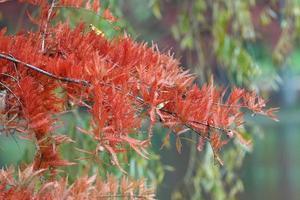 rode bladeren op naaldboomtak in de herfst