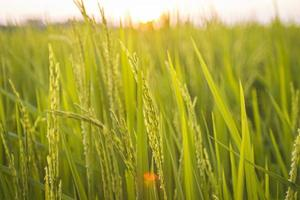 groene rijstveld bij zonsondergang