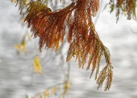 naaldboomtak met roestige bladeren
