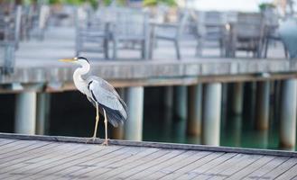 grijze reiger staande op een dok