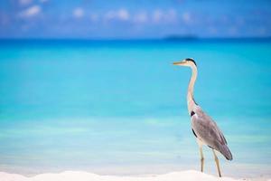 grijze reiger staande op een wit strand