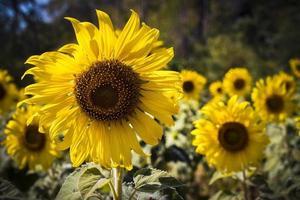 close-up weergave van zonnebloemen in het veld foto