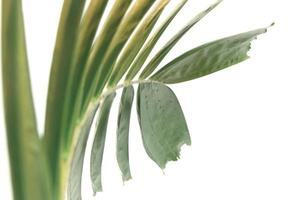 creatief groen palmblad dat op witte achtergrond wordt geïsoleerd foto