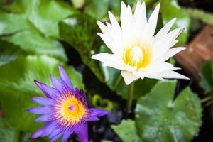 violette en witte bloesem lotusbloemen foto