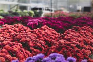 kleurrijke trossen dahlia's
