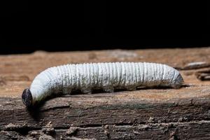 witte worm, macro