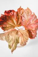 rood en groen esdoornblad foto