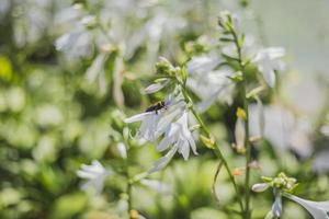 bijen die een witte bloem bestuiven