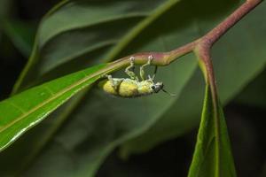 hypomeces squamosus fabricius op een blad foto