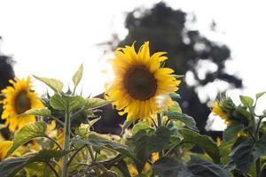 mooie gele zonnebloemen foto