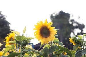 veld met prachtige zonnebloemen foto