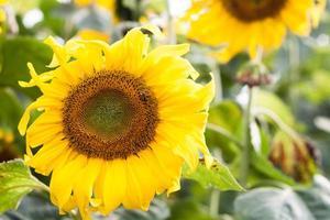 close-up van zonnebloemen buiten foto