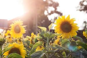 zonneschijn op zonnebloemen foto