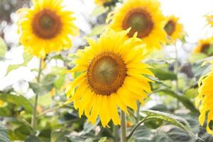 groep heldergele zonnebloemen foto