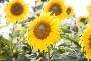 close-up van een groep zonnebloemen foto