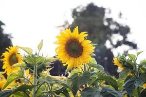 prachtige zonnebloemen buiten foto