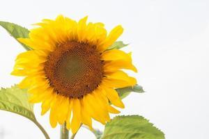 gele zonnebloem op een witte achtergrond foto