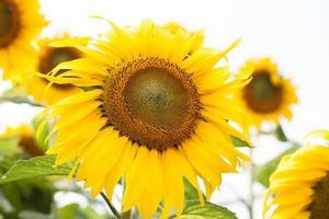 gele zonnebloemen buiten foto