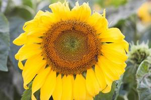 close-up van een zonnebloem foto