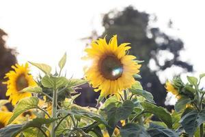 zonnebloemen in de zon foto