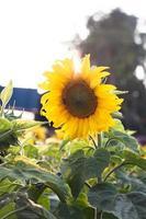 mooie zonnebloem in zonlicht foto