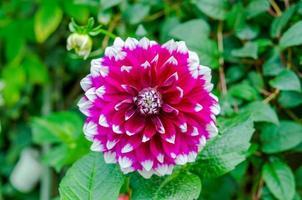 bovenaanzicht van een roze dahlia