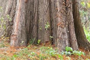 basis van een dikke boomstam