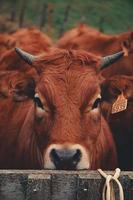 bruine jonge koe foto