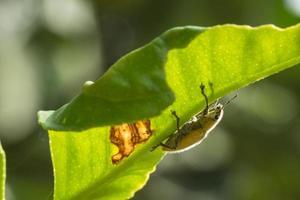 groene snuitkever op een blad