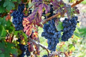 druiven aan de wijnstok foto