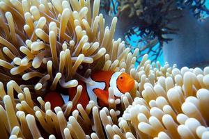 anemoonvis op een koraalrif