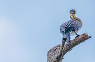 blauwe aalscholver zat op een tak foto